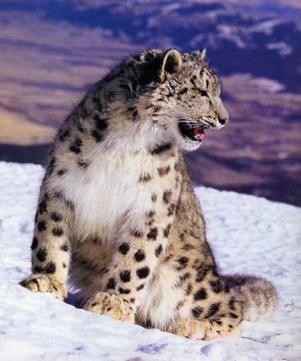 Articles de ma passion les animo tagg s animaux du froid ma passion les animo - Felin de la savane ...