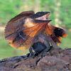 Le Chlamidosaurus kimgii