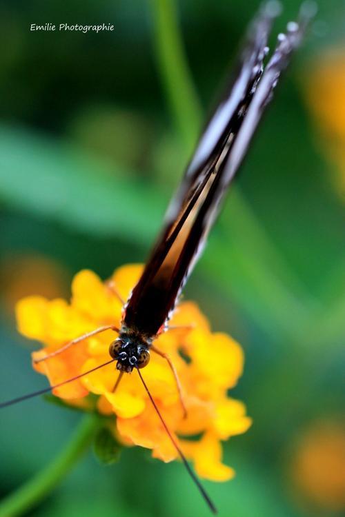 Papillon en macro