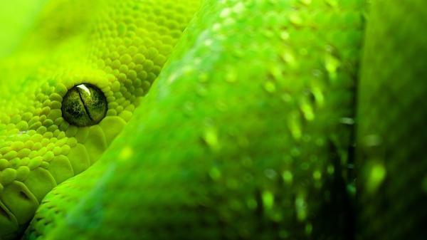 Les 5 plus grandes espèces de serpent constricteur