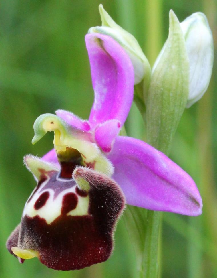 Orchidées abeille et bourdon