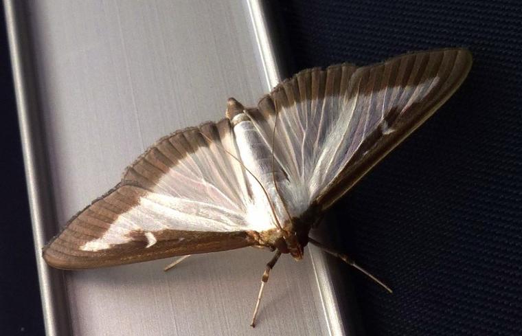 Papillon nocturne dérangé.