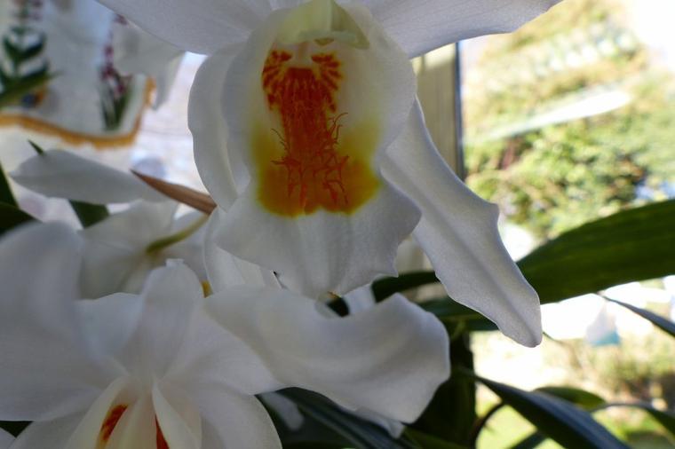 Orchidée Coelogyne