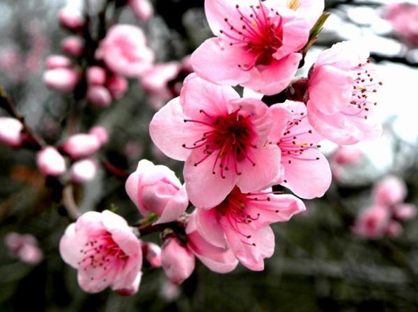 www. Cherry Blossom asiatique datant Campings complets en mi