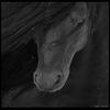 apprendre au cheval a travailler