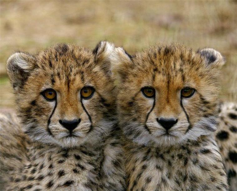deux petit guépard adorable