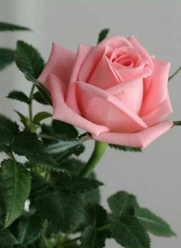 Roses for you 💗💗💗