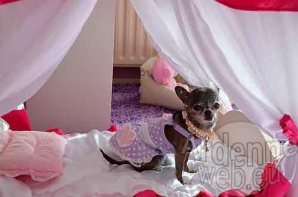 Bienvenu chez Miss Chiwa.. la star canine de Belgique ! ♥