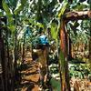 la banane de la gwada
