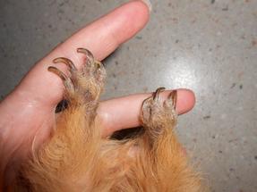 Visite chez le vétérinaire ( Ou comment coupez les griffes de sont cobaye )