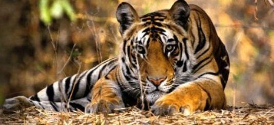 Braconnage, trafic illégal, déforestation…pour le tigre ...