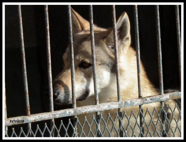 Un chien loup