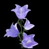 fleur mauve 4