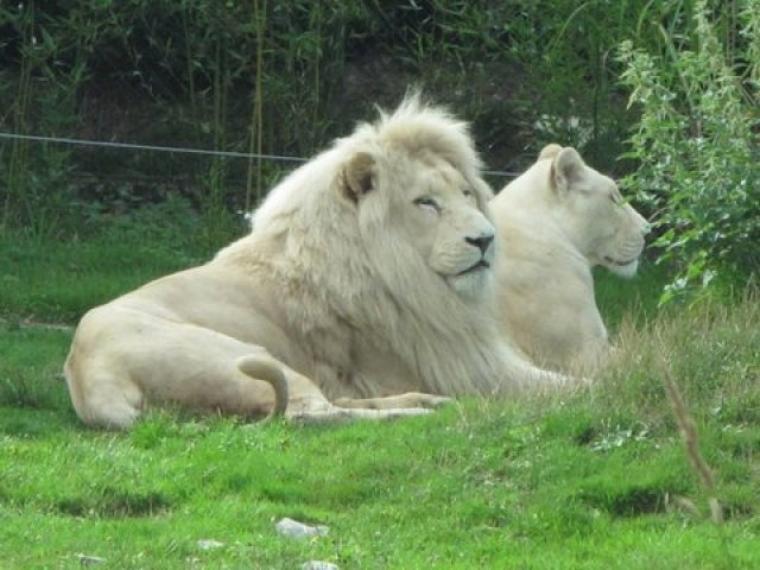Lion = Leo