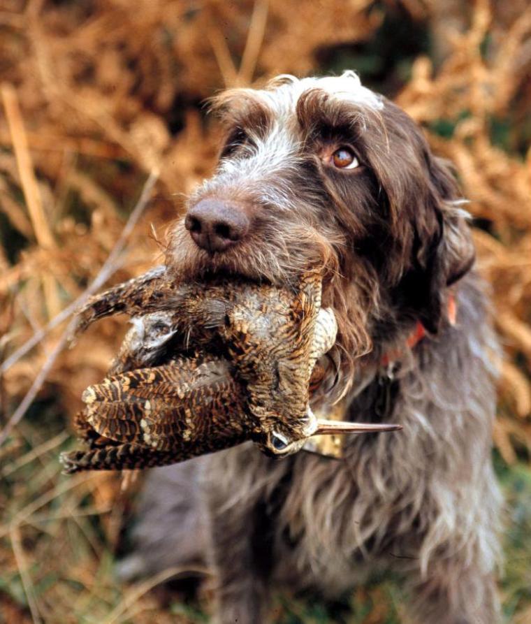 Chiens de chasse = Canes Venatici