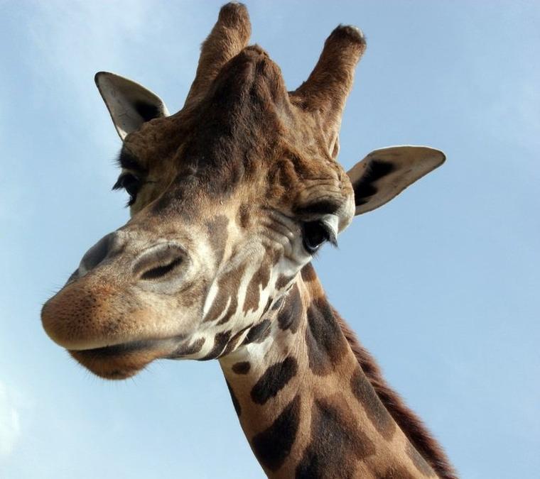 Girafe = Camelopardalis