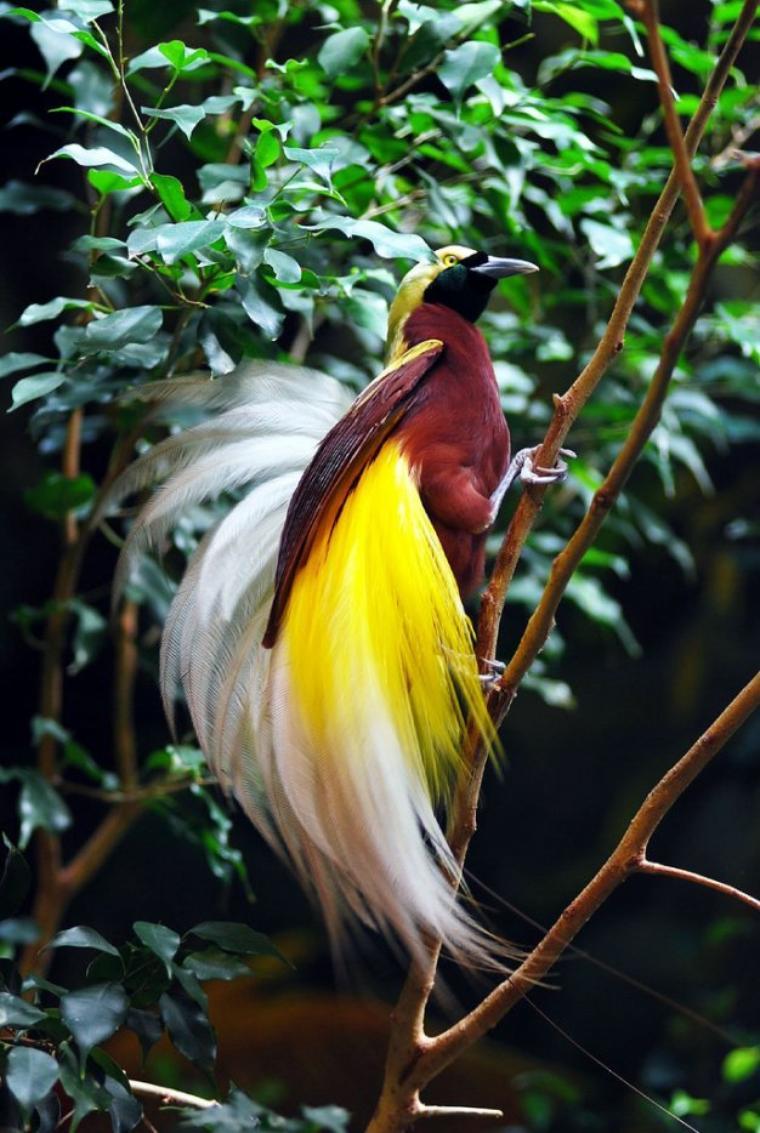 Oiseau de paradis = Paradisier = Apus