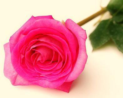 signification de la rose ♥ - salut