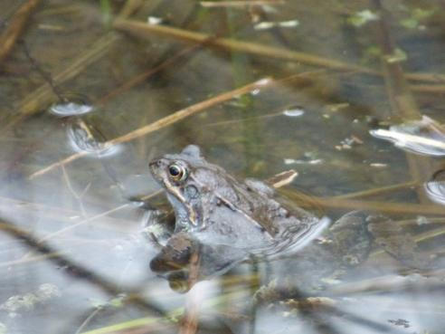 Crapaud ou grenouille ?