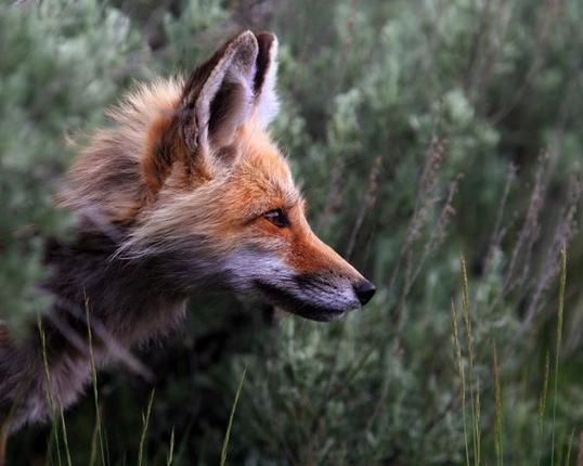 Chapitre 4 : L'homme au renard