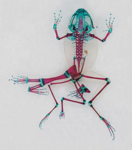 Grenouilles Scannées, Entre Art et Science