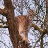 Lynx!!!