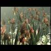 La fleur Progenitor
