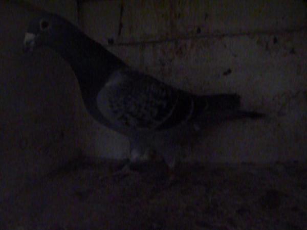 pigeon de mon amis ROGER