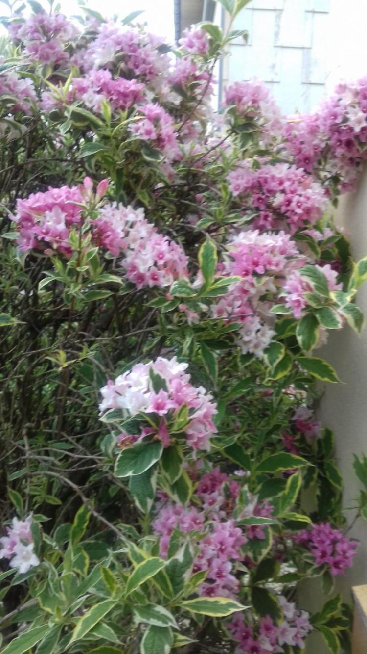 voila mon jardin qui commence a fleurir