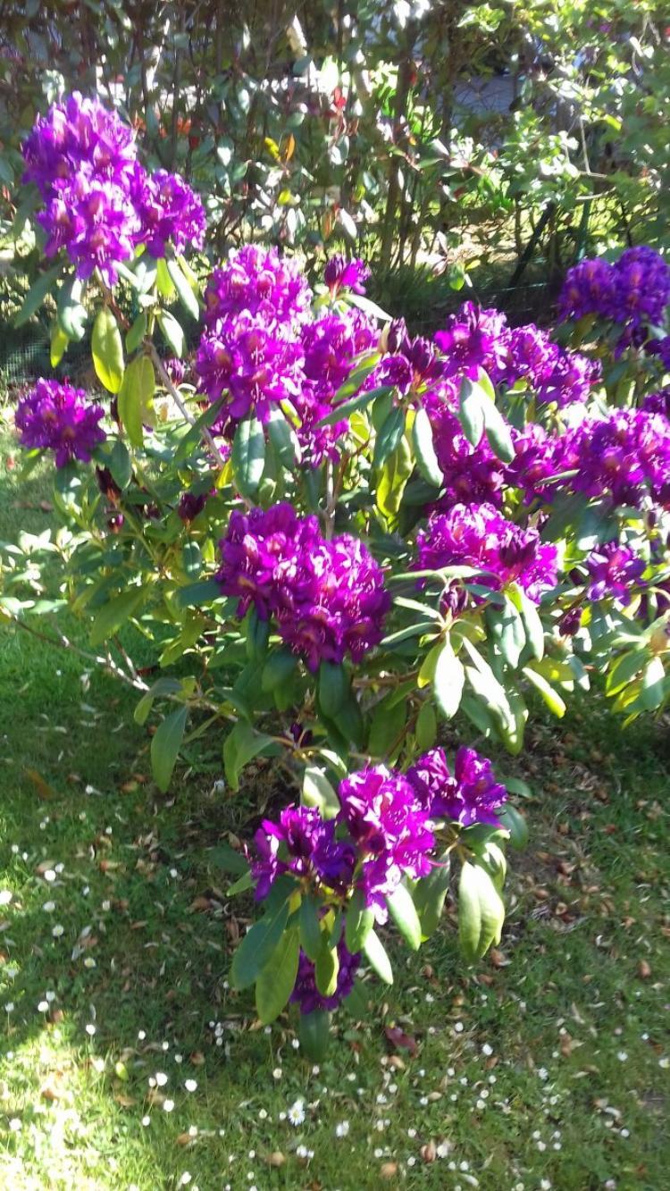 voila mon rhododendron qui fleurit dommage qu il a beaucoup de vent
