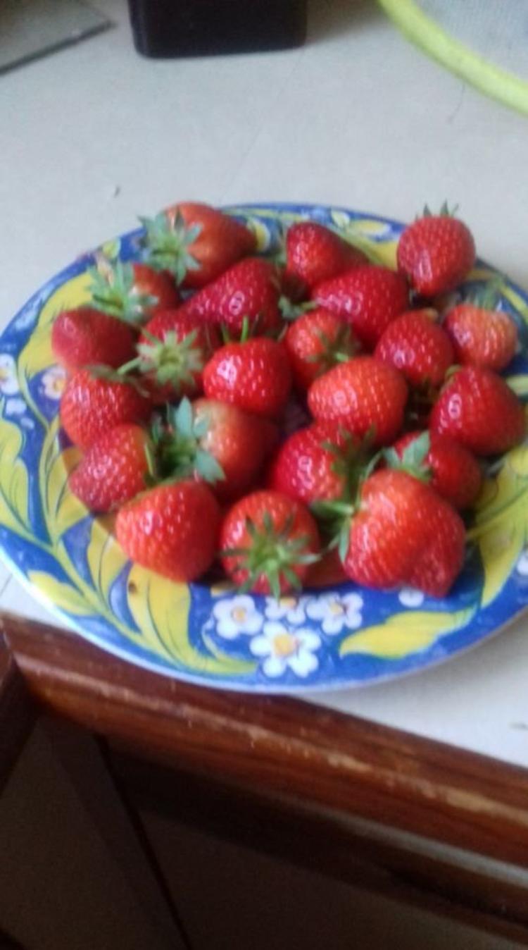 voila la 2eme cueillette de fraises ce matin