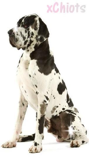 ⌠Article N°2 Le Dogue Allemάnd⌡