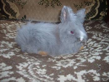 nouvelle fotos de bleu angora nain de lapinous de liliane a dopte par christelle