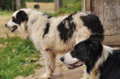 CHAPITRE 1: Article 1: Le chien, un animal de meute / hiérarchie avec les maîtres.