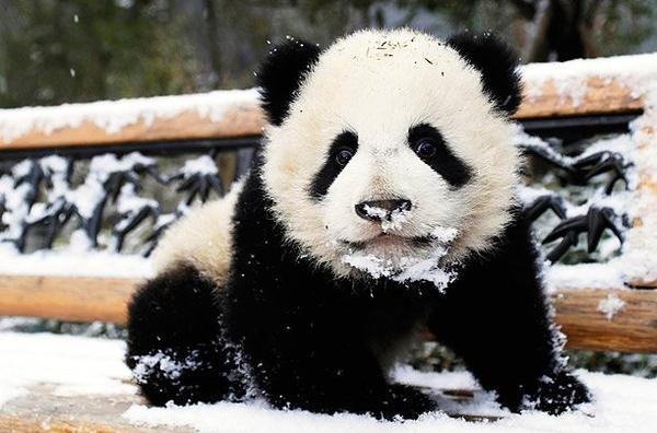 article sp cial panda tout mignon blogue de lehobbit fiction. Black Bedroom Furniture Sets. Home Design Ideas