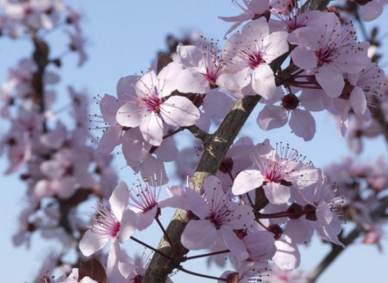 Les cerisiers sont en fleurs et en Lego.
