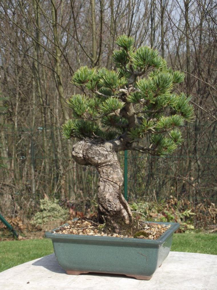 pin pentaphylla