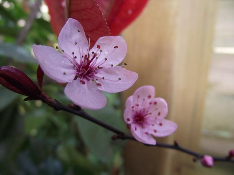 fleur de prunus cerasifera