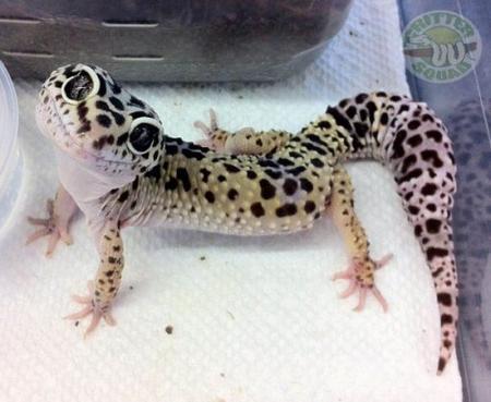 Voici le Geckos