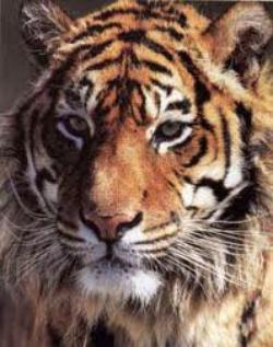 Tigre persécuté