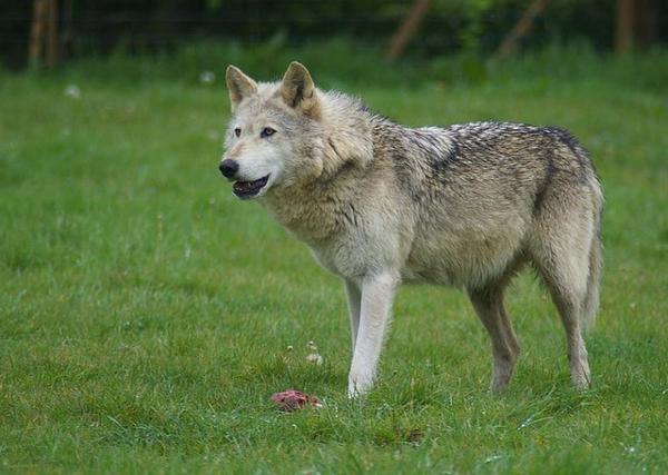 Les diffèrentes races de loups
