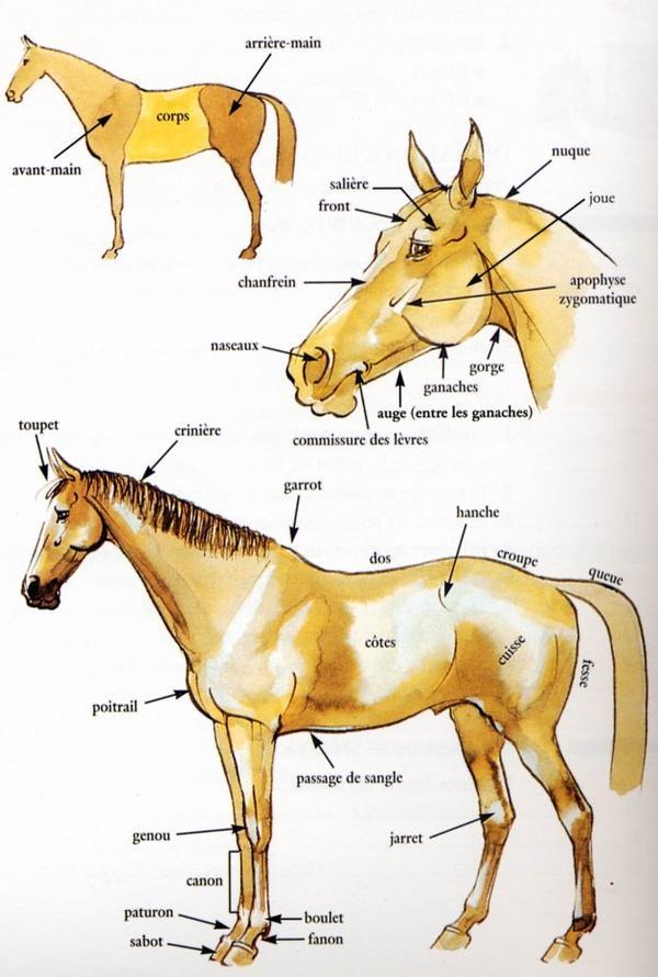 Voici les parties du corps du cheval