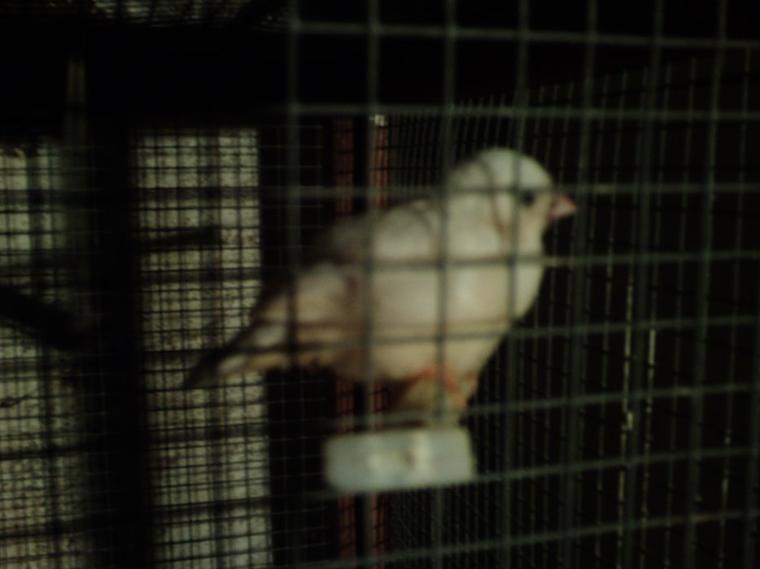 les 3 premier petit oiseaux mandarin isabelle sont sortie du nid