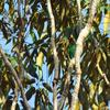 Caïque à tête noire - Pyrilia caica. Caica Parrot.