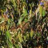 Guit-guit saï - Cyanerpes cyaneus. La femelle.