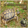 ((O5)) αrтιcℓe                                                                                                                                                                            ------- ARTiCLE SUR LA TORTUE GRECQUE  -----------------------------------------------------------------------------------------------------------------------------