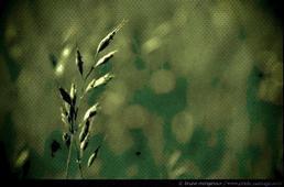 Un brin d'herbe dans une prairie