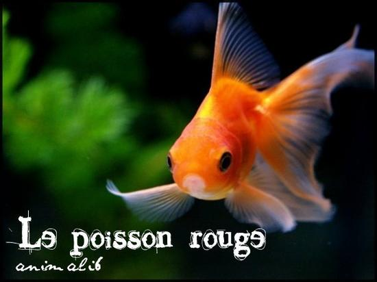 Articles de animali6 tagg s poisson rouge for Aquarium poisson rouge mise en route