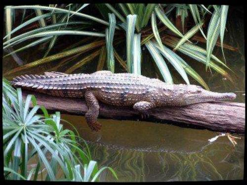 Le vrai Crocodile Dundee?