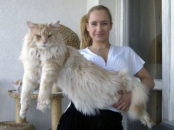 Amazing simple cat breeds maine coon - NICE PLACE TO VISIT